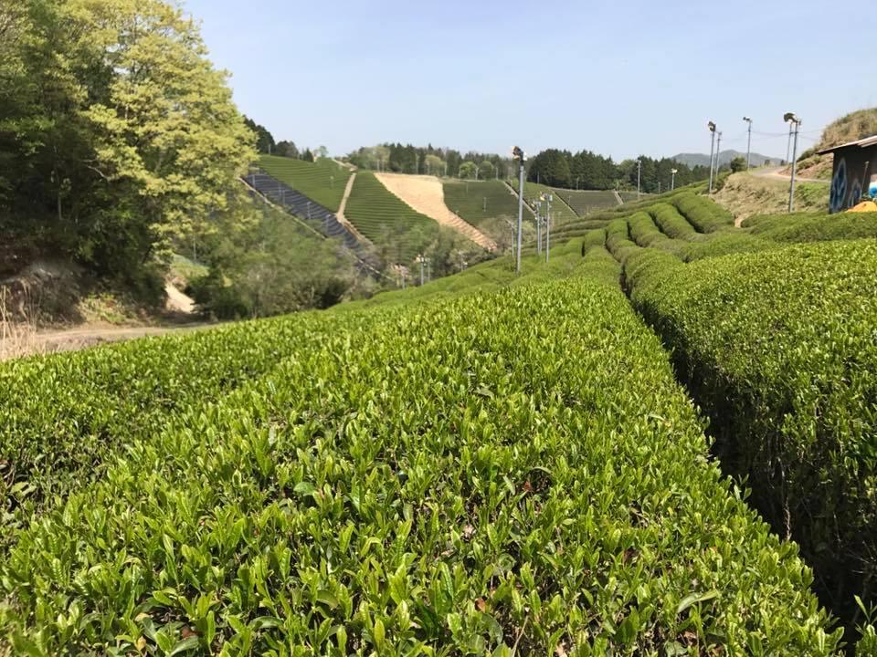 茶楽園の茶畑