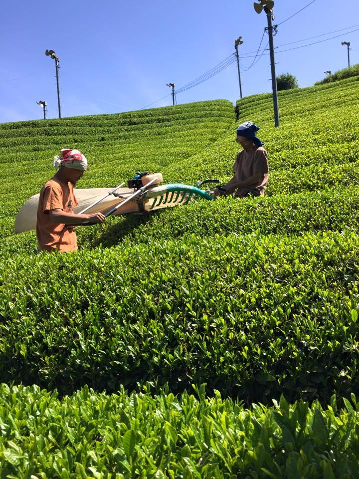 茶摘みの様子2