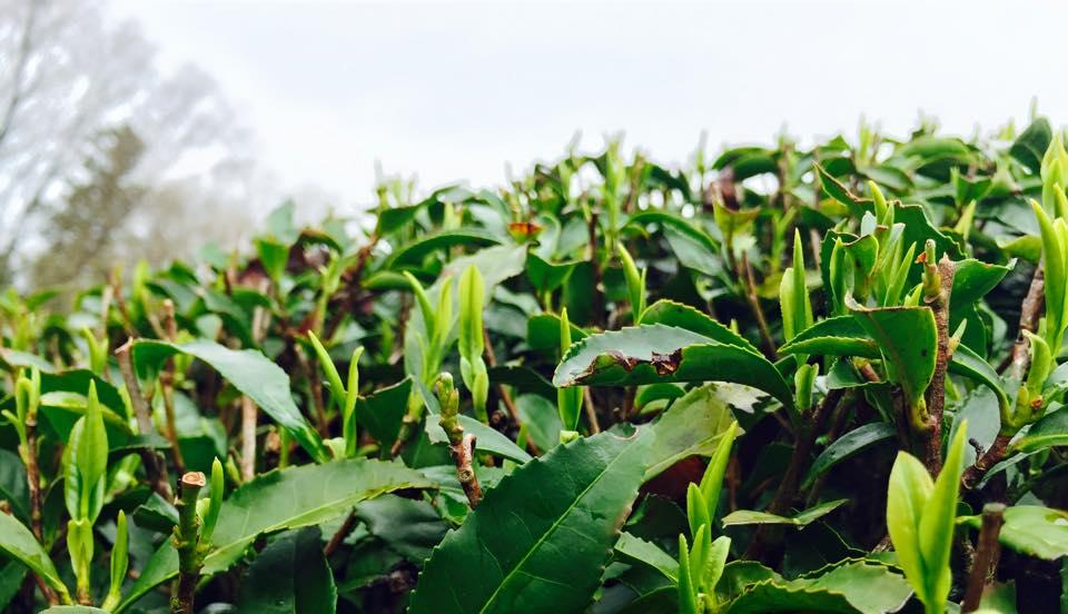 在来種のお茶、新芽