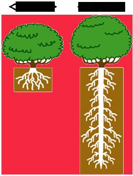 在来種のお茶の根