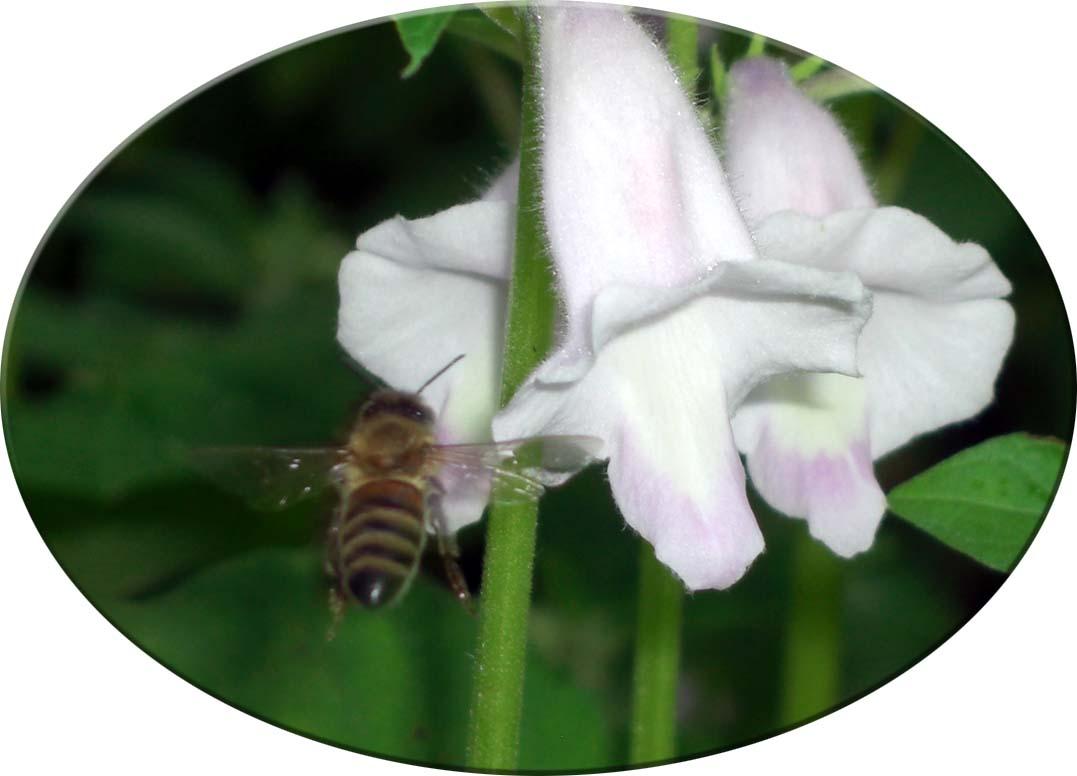 胡麻の花とハチ